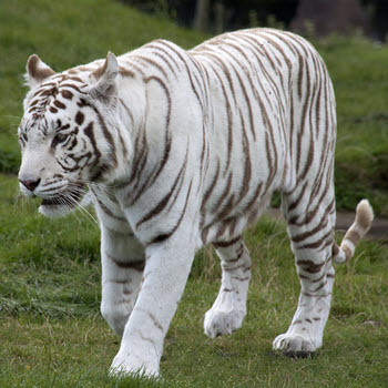 white tiger rhino lion nature reserve the nearest faraway place