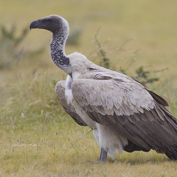 Whitebacked Vulture