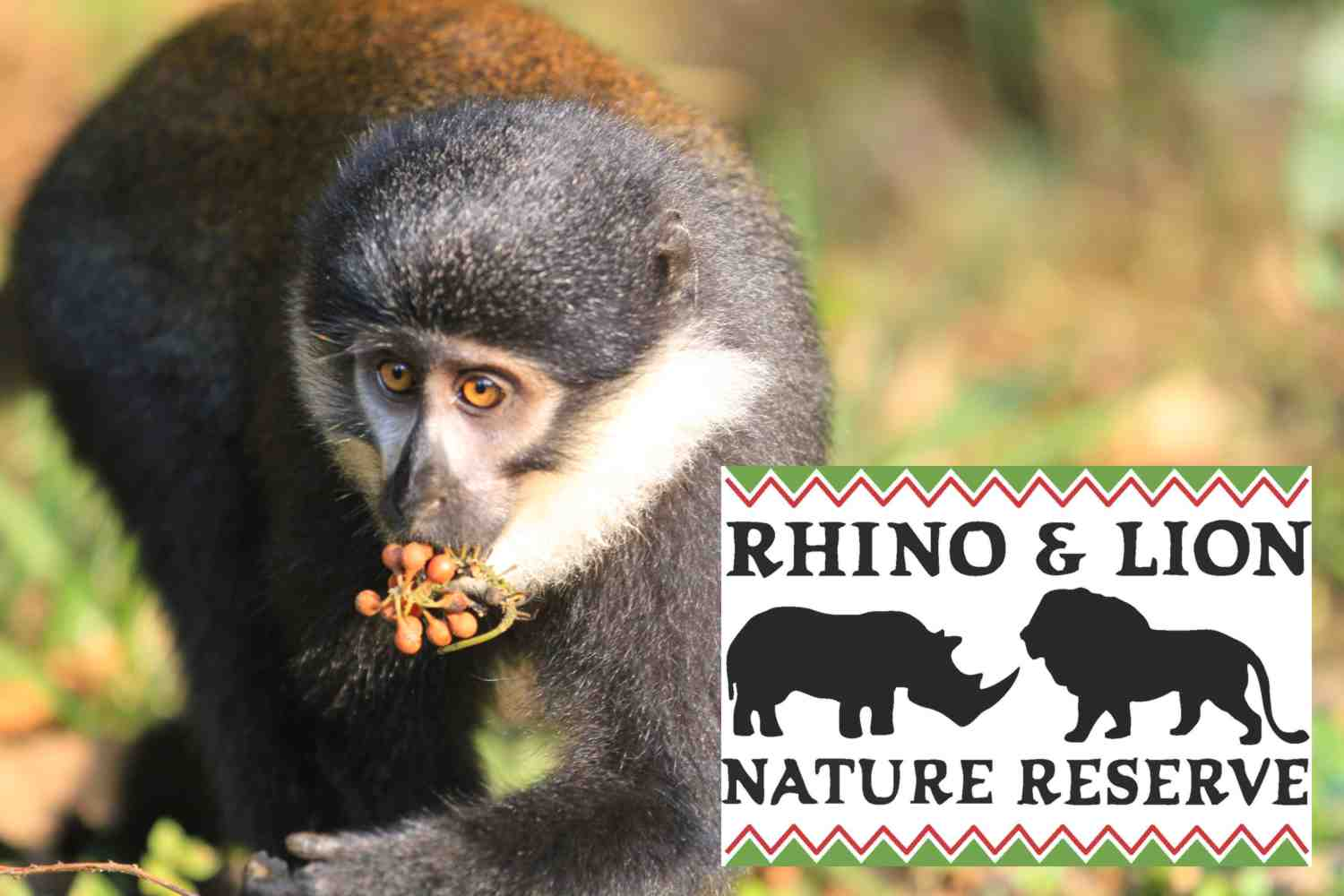 L`Hoest`s Monkeys Now at Rhino Lion