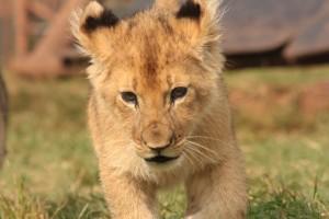28-animal-creche-rhino-lion-nature-reserve